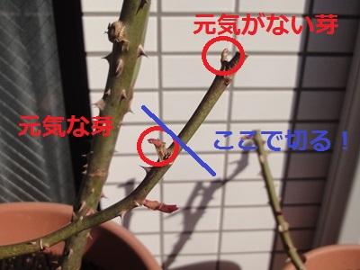 バラ‗最初の手入れ (3).JPG