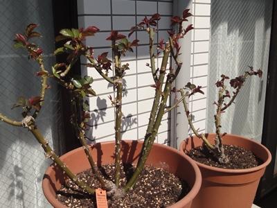 バラ‗芽掻き‗3月 (1).JPG
