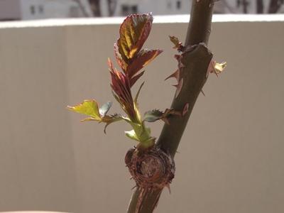 バラ‗芽掻き‗3月 (4).JPG