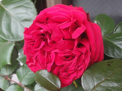 バラ一番花.JPG