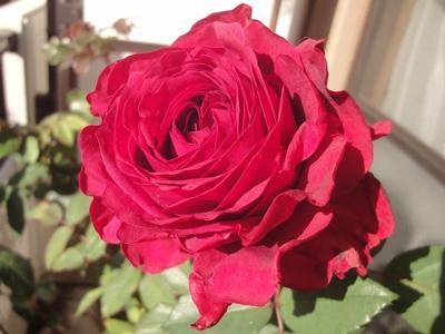 12月のバラ.JPG
