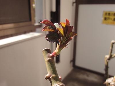 バラ‗冬剪定 (1).JPG