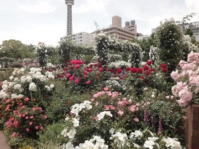 横浜ローズウィーク2019_山下公園 (1).JPG